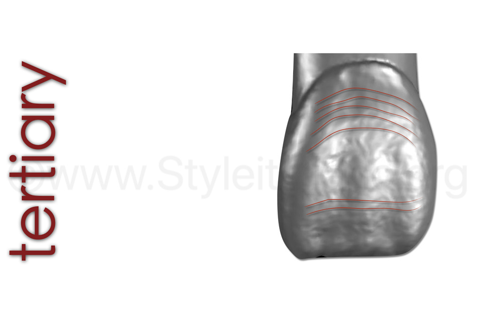 illustration of tertiary anatomy perikymata